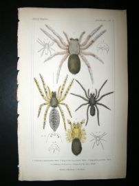 Cuvier C1835 Antique Hand Col Print. Spiders #5A